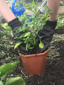 transplanting-peppers