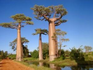 The baobab