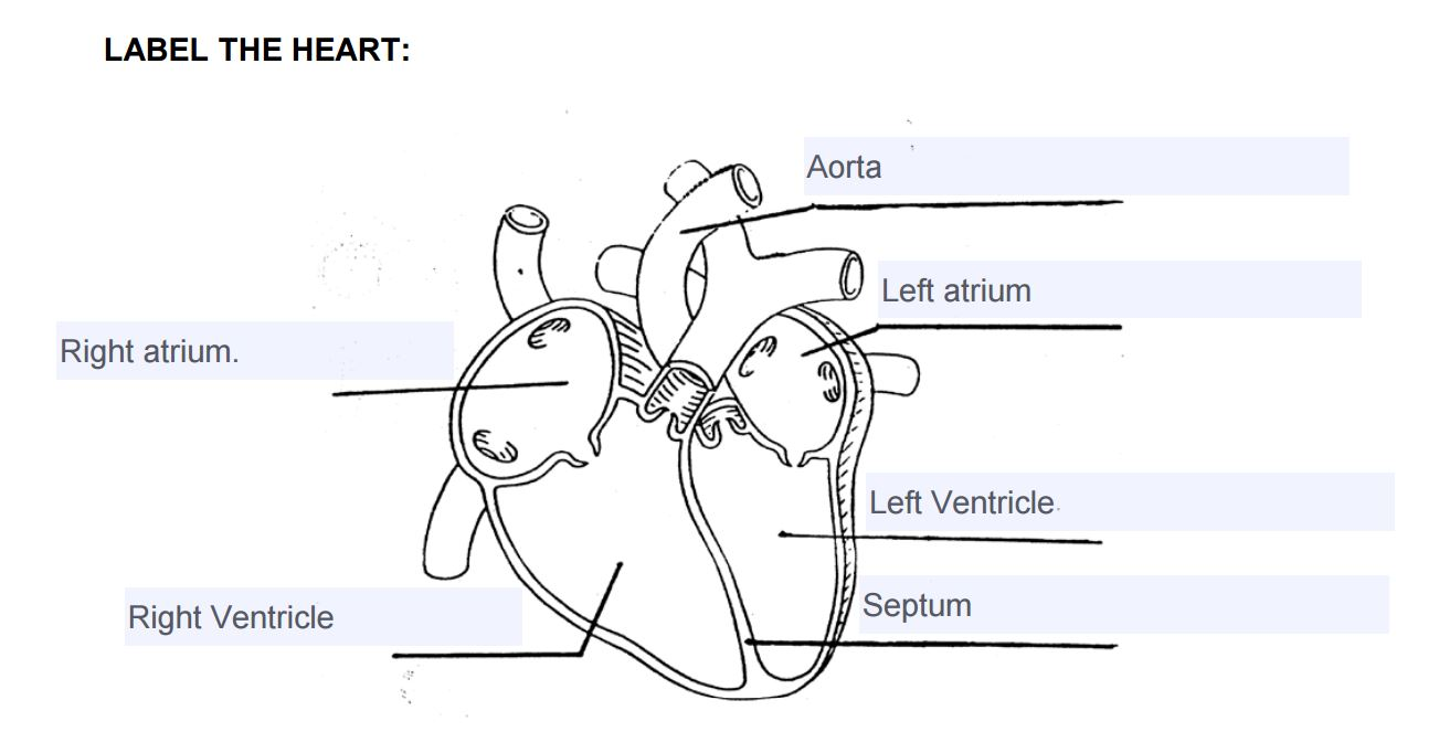 Label the heart lesson 3 1yi73uz worksheet label the heart worksheet luizah worksheet and essay heart diagram worksheet at aneh.co