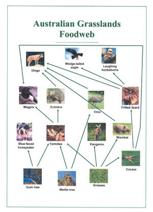 Kookaburra Food Chain