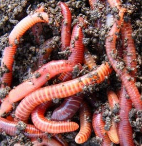 composting-red-worms-1