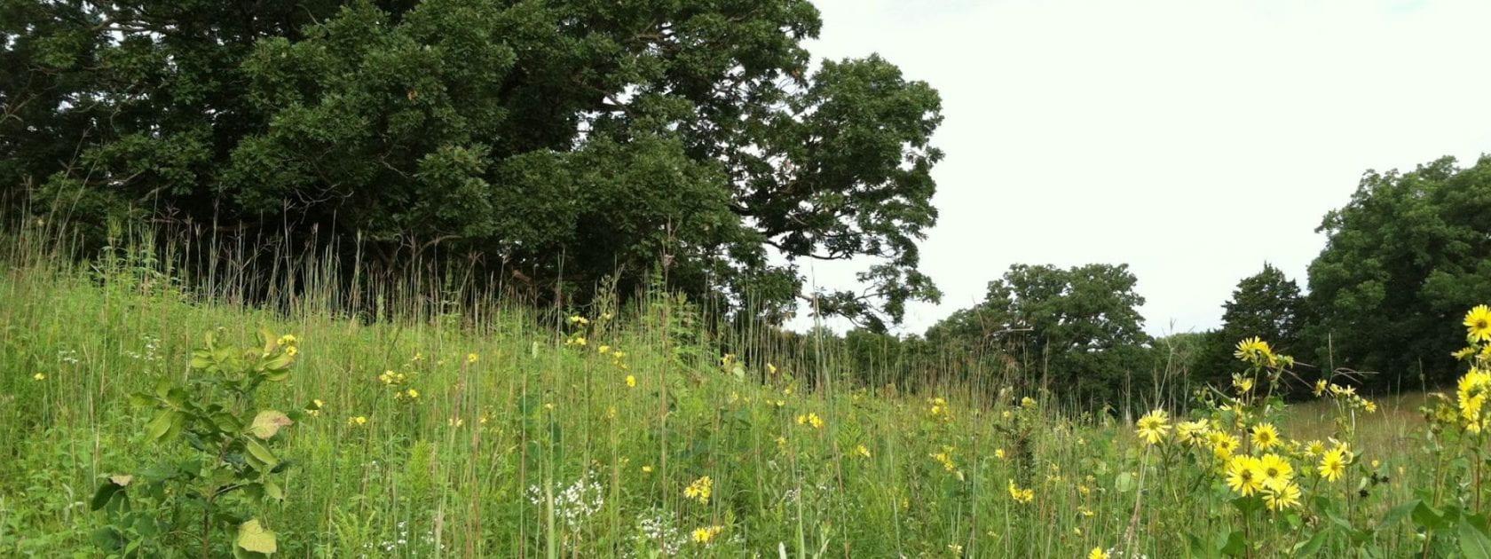 Oak savanna prairie at Rochester Cemetery
