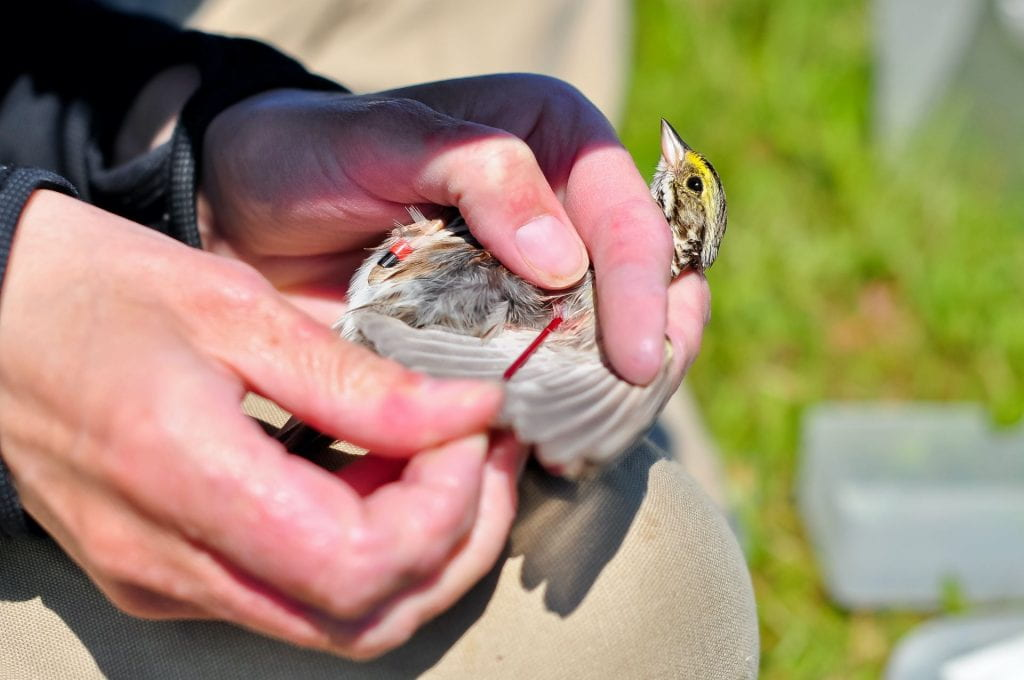Image of a bird being held by a persons hands while its wing is being inspected