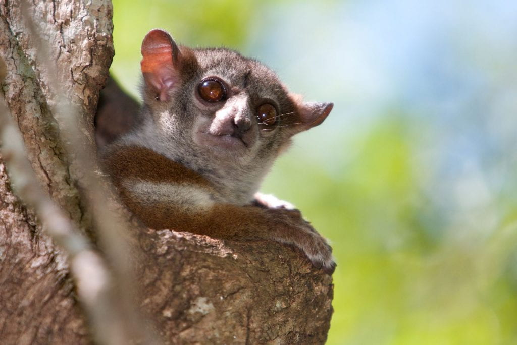 Image of a lepilemur edwardsi lemur on a tree
