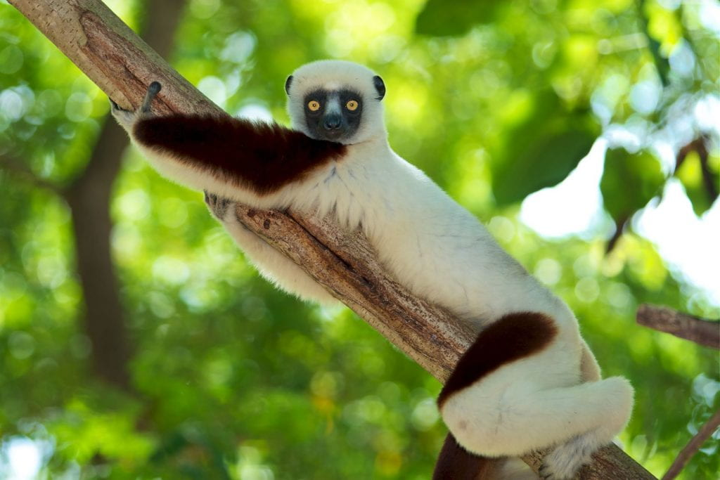 Image of a propithecus coquereli lemur on a tree branch