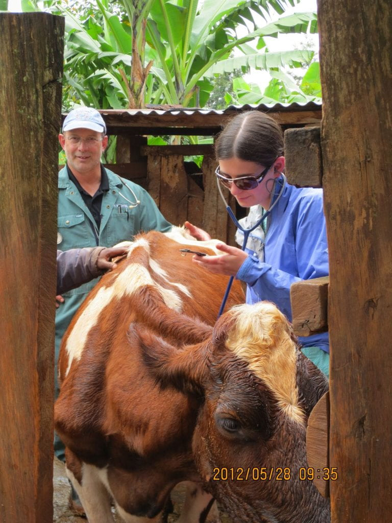 A photo of Dr. Jeff Wichtel standing behind a dairy cow while student veterinarian Jennifer Huizen examines it.