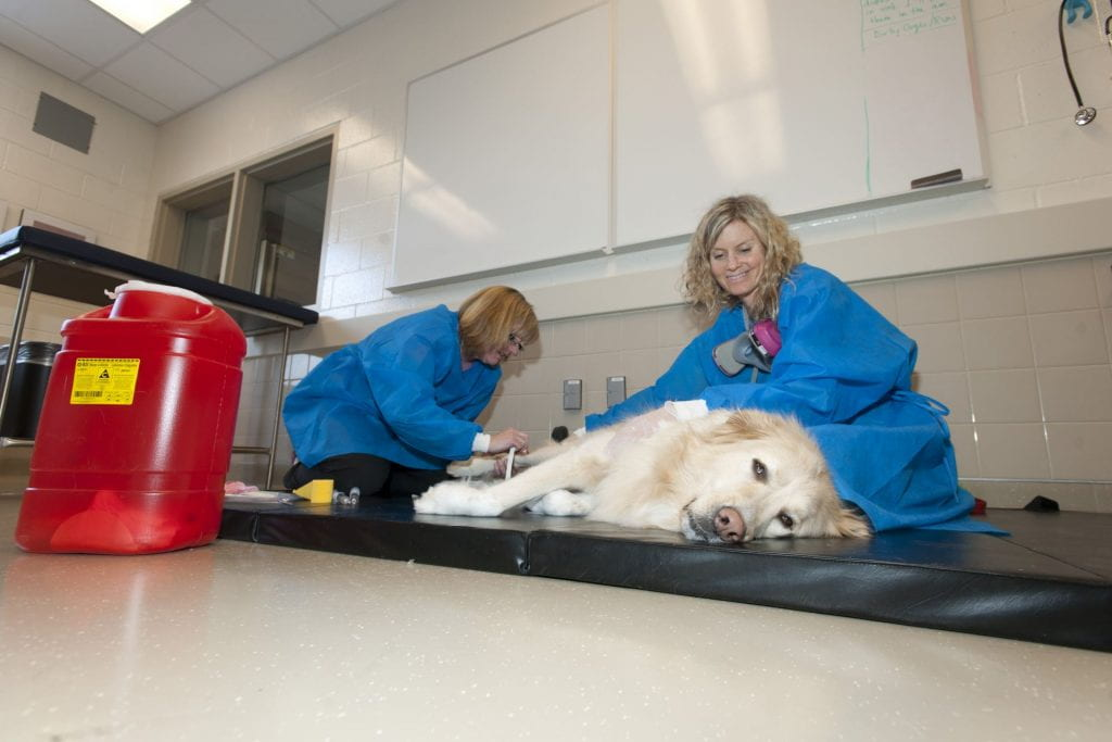 A Golden Retriever dog lies on a mat while two veterinarians administer treatment to its leg.