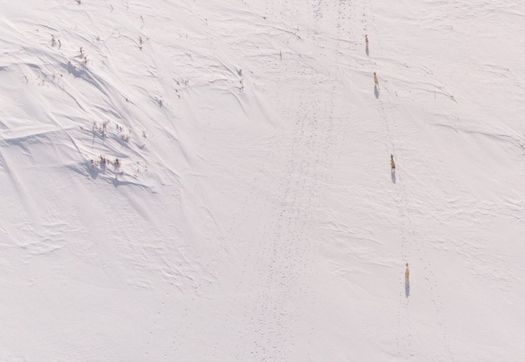 An aerial photo of four caribou walking along the arctic Labrador terrain. Numerous caribou tracks are visible in the snow.