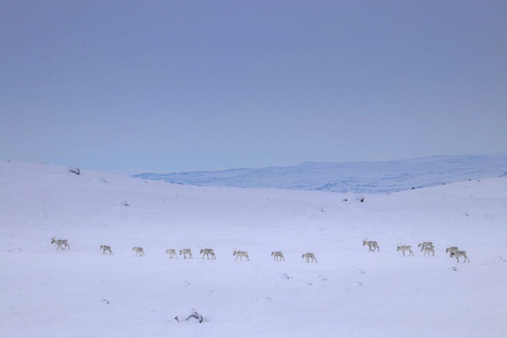 A photo of a group of caribou walking along the arctic landscape of Labrador.