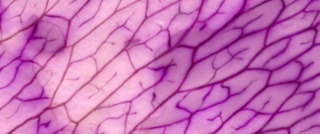 An extreme close-up of the delicate texture of a purple flower petal. Veins branch like rivers and create repeating patterns. The purple shades shift across the frame, at times pale and translucent, at times vibrant and opaque.