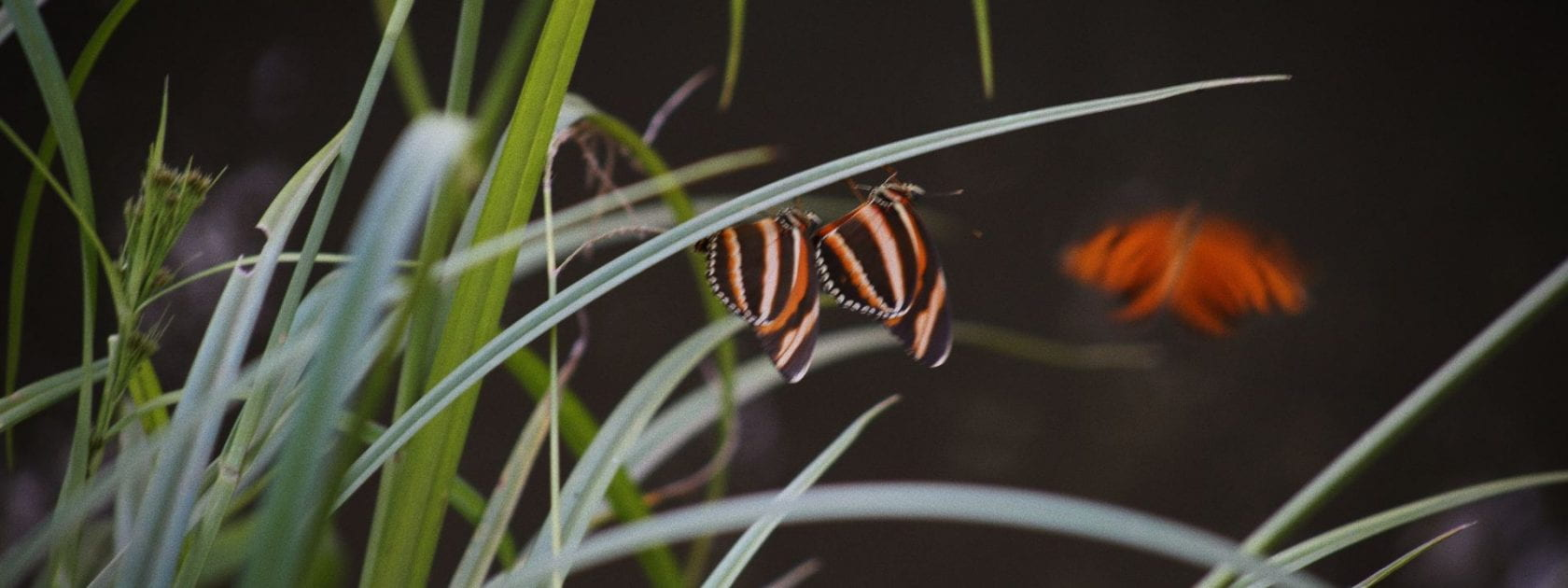 Image shows some grasses and two butterflies in bright orange and black colours.