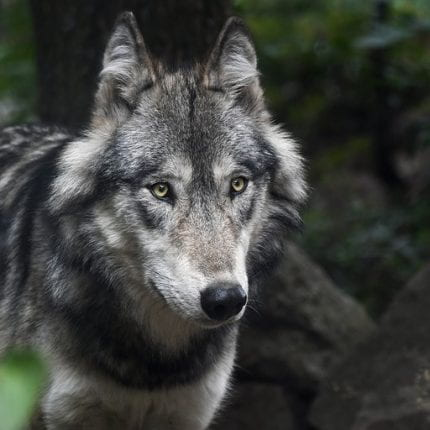STOP the Wolf Cull in Western Canada: Re-visiting Human-centric Development