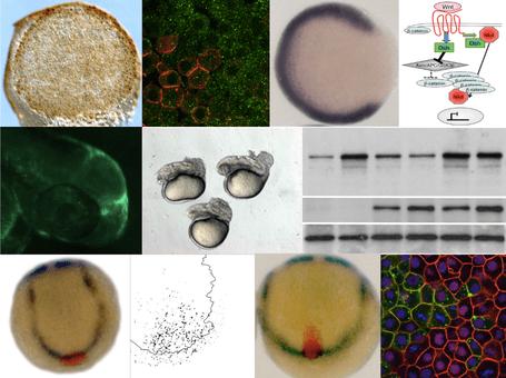 wnt signaling lab microscopic cells